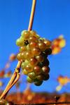 Alsace Hvid drueklase